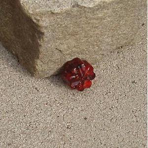 Trèfle rouge